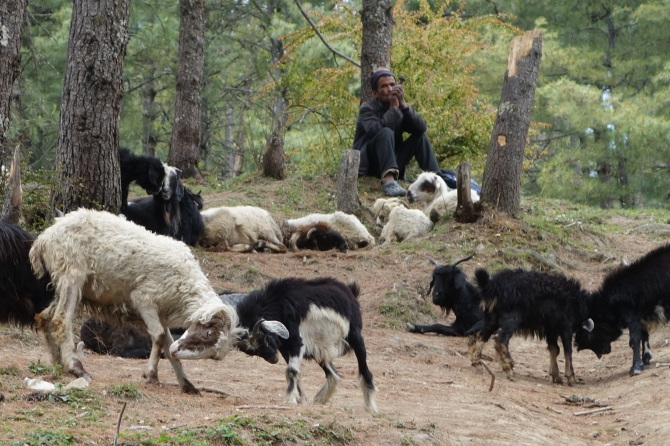Lightning kills 250 sheep in Jumla, Western Nepal